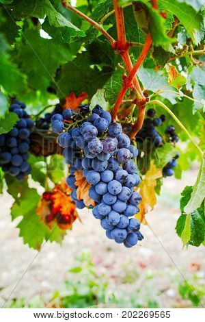 Ripe red wine grape ready to harvest South France