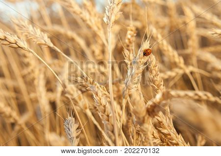 farming flora and fauna wildlife concept. small red beetle with black dots on the back commonly known as ladybird sitting on the top of the golden straw among the ears of rye