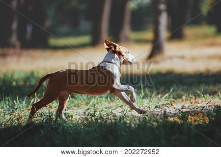 Handsome young dog runs across the field on forest background. Puppy American Staffordshire Terrier