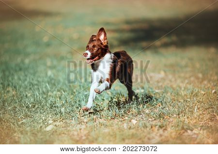 Beautiful chocolate puppy border collie runs gallop on a blurred background. Happy dog for a walk