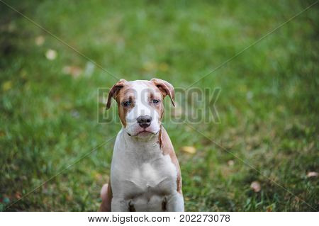 Portrait of puppy American Staffordshire Terrier. Sad small dog on a background of green grass with hanging ears