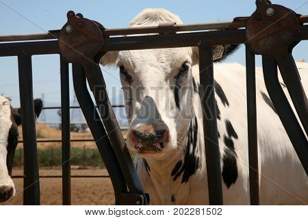 COW. Cows on a Dairy Farm or Ranch.