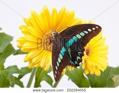 Graphium Milon Swallowtail Butterfly