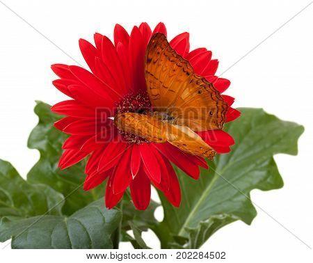 Cruiser Butterfly (vindula Erota)