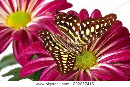 Green Jay Butterfly