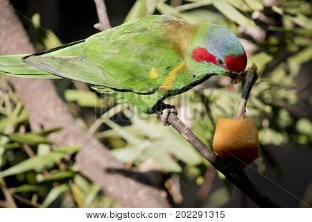 the musk lorikeet is eating a piece of fruit