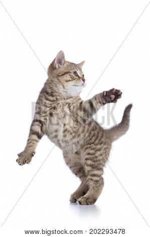 Funny Striped Kitten Playing And Jumping Isolated On White