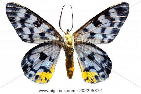 Lepidoptera Tranduc