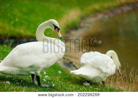 Beautiful White Swans On The River Bank