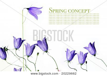 spring concept. young purple flowers against white background