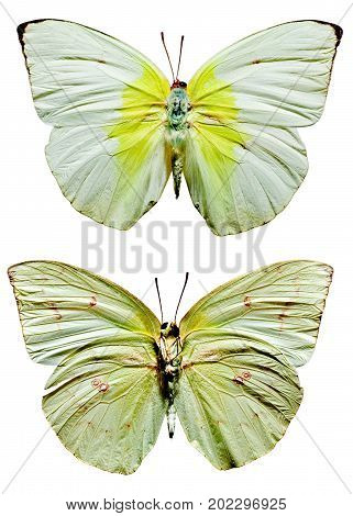 Lemon Emigrant Butterfly