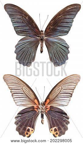 Great Morman Butterfly