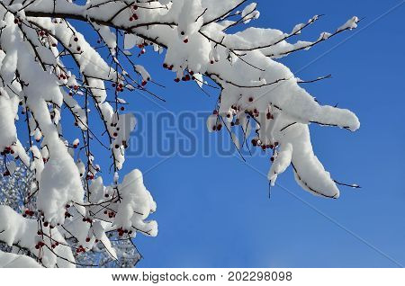 Christmas decorations of winter nature - snow-covered branch of wild apple tree with red fruits close-up on a bright sunny blue sky background - amazing details of winters landscape