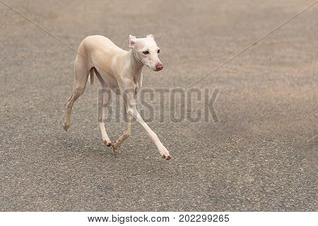 Leverette, or a small Italian greyhound - the smallest dog from the group of greyhounds. Space under the text. 2018 year of the dog in the eastern calendar Concept: friend, protection, loyalty, vigilance, security