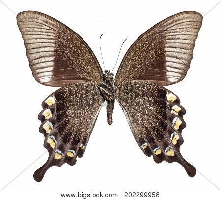 Majestic Green Swallowtail Butterfly