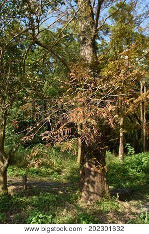 Taxodium Distichum Tree in the mountain on fall