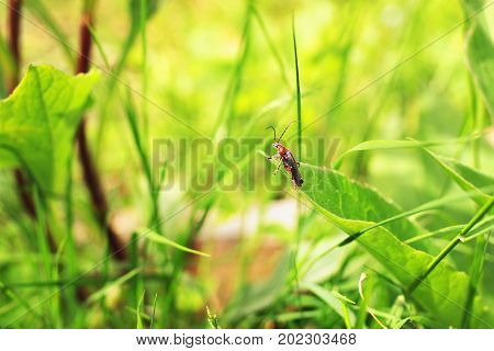Insect soldier beetle or leatherwings in the grass in the summer. Shallow depth of field