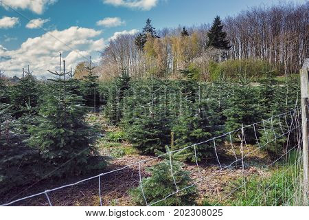 A tree farm growing fir trees for Christmas in Langeland, Denmark