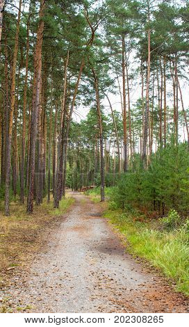 Path through a pine grove. On the right are young pines. There are cones on the way. At the background are truncated pine trees.