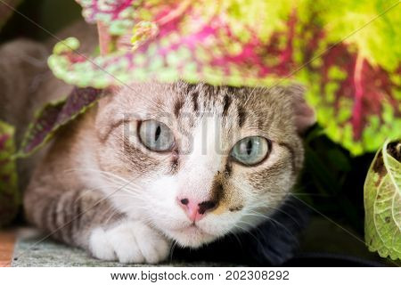 thai cat hiding in bush at garden for background
