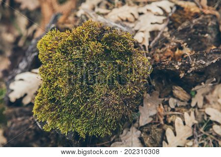 Forest floor background and texture with moss. Mossy old tree trunk. Forest foliage background. Abstract organic texture and background for designers. Macro view of moss and lichen with dry leaves.