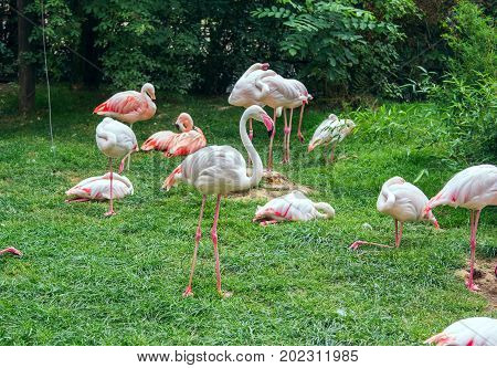 The James's flamingo (Phoenicoparrus jamesi) or Puna flamingo birds resting and walking on a green meadow