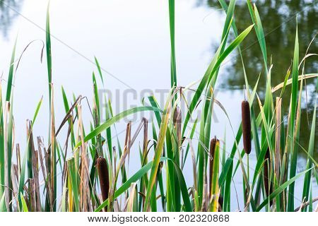 Green Field Of Typha Angustifolia Or Cattail Or Bulrush In Wetland