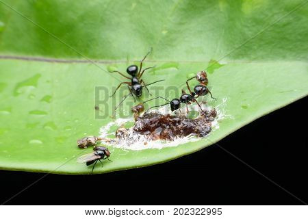 Close up black meat-eater Ants and Carrion on green leaf