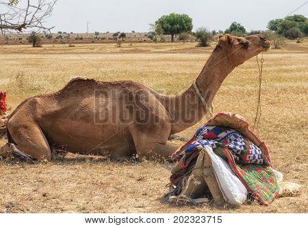 Camel during desert safari pause Sam Sand Dune Jaisalmer Thar Desert India