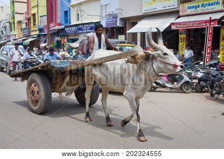 Madurai India - October 13 2014: Cow at the street in Madurai India.