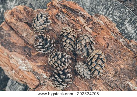 Pinecones on wooden background. Pinecones in the forest over tree bark. Abstract texture and background for designers. Close up view of pine cones  in the woods. Forest floor.