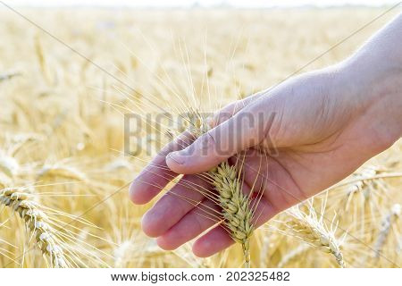 Wheat ears in woman's hand. Field on sunset or sunrise. Harvest concept.