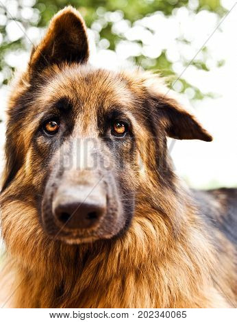 Photo of beautiful sad dog, closeup portrait of German shepherd, brown dog looking at camera, domestic animal playing outdoors, dogie face, adorable pedigreed dog, purebred canine
