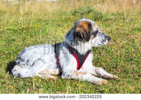 white and black fuzzy dog in green grass background