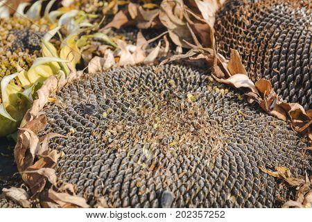 Mature sunflower. Dry sunflower in the fall. Sunflower seeds.