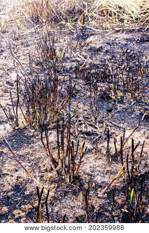 Ashes And Wreck Stump Grass After The Fire