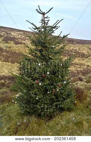 Decorated Conifer in Turf Bog, Sally Gap, County Wicklow
