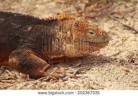 Close Up Of Galapagos Land Iguana