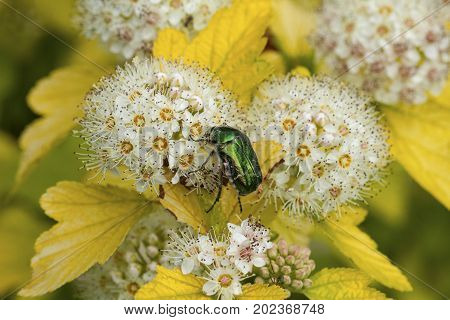 Cetonia aurata, called the rose chafer or the green rose chafer beetle