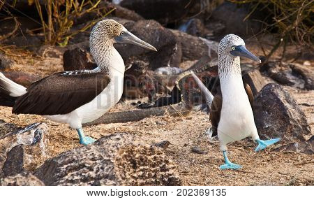 Mating Dance Of Blue Footed Booby
