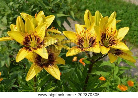 The beauty of flowers. Bright yellow lilies are blooming in the flowerbed in the garden. A close-up photograph