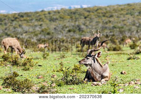 Greater Kudu Lying In The Grass