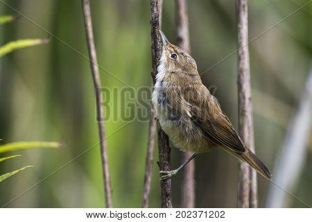 Eurasian Reed Warbler(acrocephalus Scirpaceus)