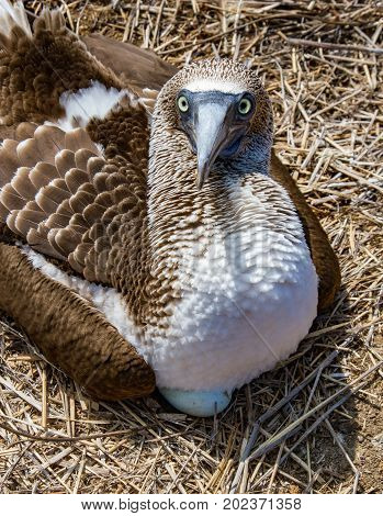 Blue Footed Booby Sitting On Egg