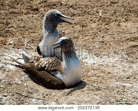 Two Adult Blue Footed Babies Protect Their Nest