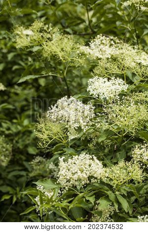 Sambucus is a genus of flowering plants in the family Adoxaceae. The various species are commonly called elder or elderberry.