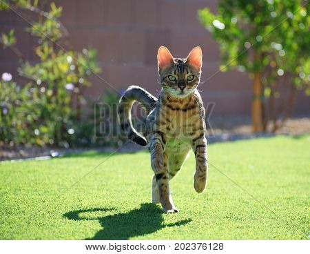 A bengal house cat prances / runs toward the camera, ears glowing in the sunlight.