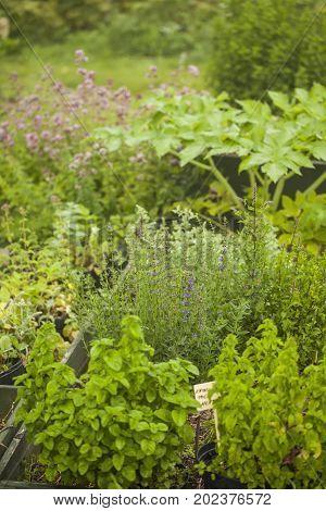 Garden of medical herbs: mint, angelica archangelica, hyssop