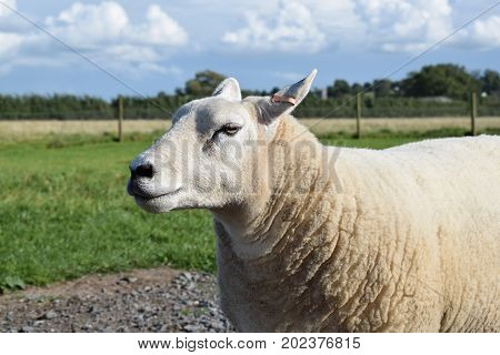 A Texel ewe stands in a field in the summer sunshine.