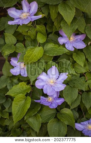 Image of flowering clematis in the summer garden